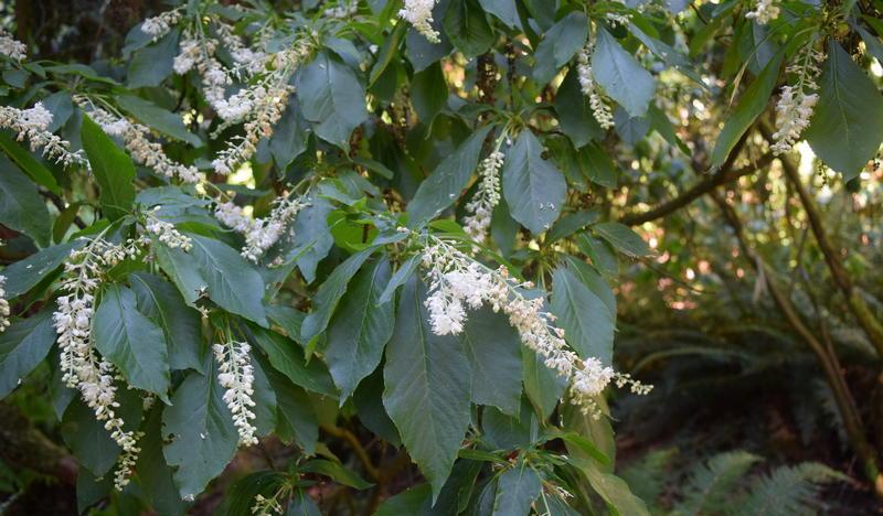 Hidden Treasure of the Arboretum: Japanese Sweet Shrub