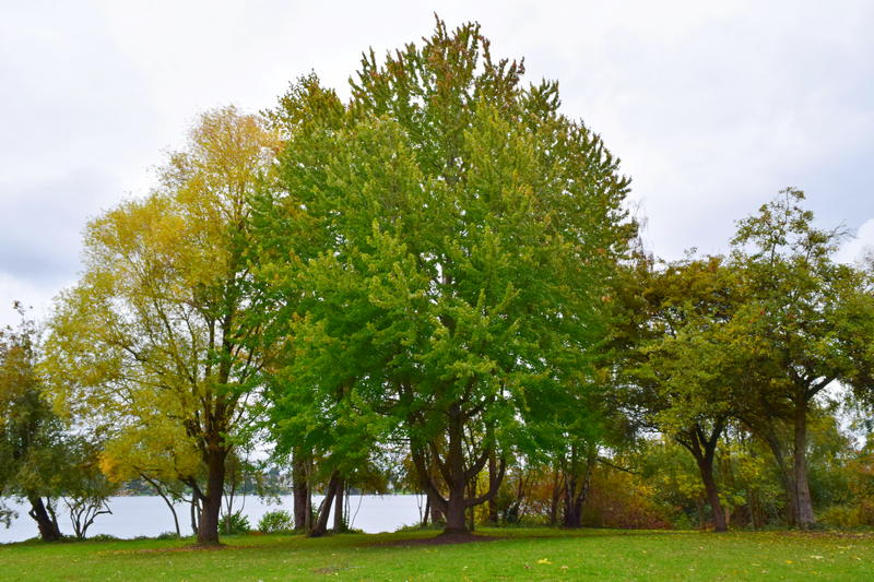 maple tree with lake in background