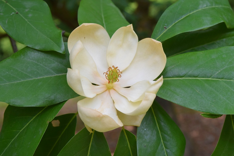 Hidden Treasure of the Arboretum: Sweetbay Magnolia