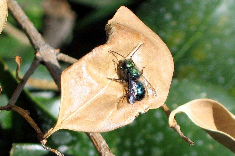 mason bee on brown leaf