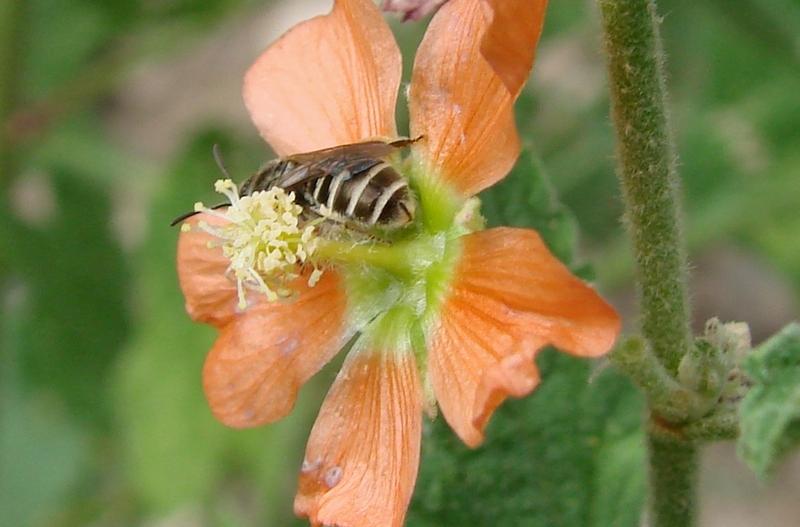 Sweat bee on orange flower.