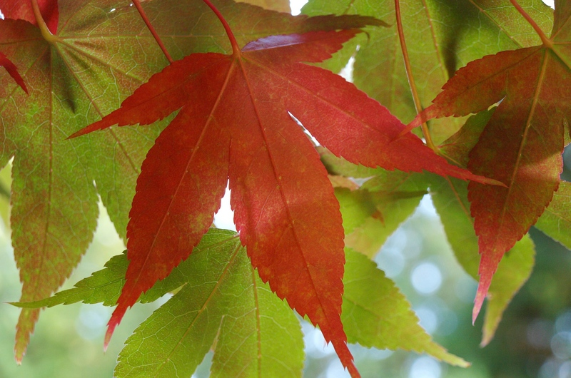Five Stunning Japanese Maples for Northwest Gardens