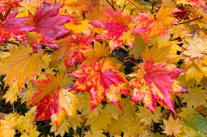 Red and yellow fall leaves of Korean maple.