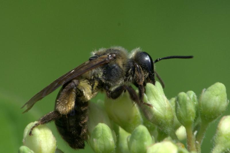 mining bee on green flowers