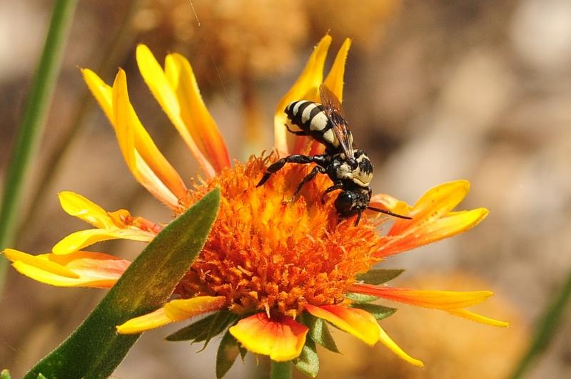 cuckoo bee on orange flower